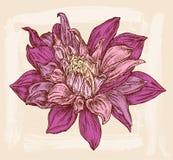 Crisantemo decorativo Immagini Stock