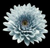 Crisantemo del fiore del turchese fondo isolato il nero con il percorso di ritaglio Primo piano nessun ombre Per il disegno immagine stock libera da diritti