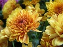 Crisantemo del oro Fotografía de archivo