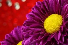 Crisantemo del primer. Imagen de archivo