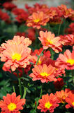 Crisantemo del rojo anaranjado Fotos de archivo libres de regalías