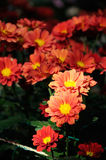 Crisantemo del rojo anaranjado Foto de archivo
