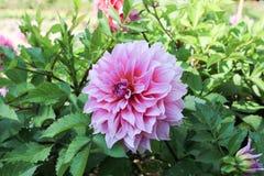 Crisantemo del rosa de Viwe en jardín Foto de archivo