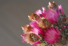 Crisantemo dentellare Immagine Stock