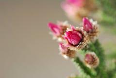 Crisantemo dentellare Fotografia Stock