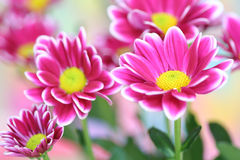 Crisantemo dentellare Immagini Stock