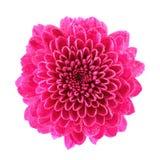 Crisantemo dentellare Fotografia Stock Libera da Diritti
