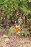 Crisantemo di causa Fotografie Stock