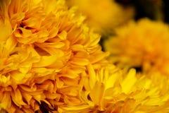 Crisantemo di fioritura, Cina Fotografia Stock