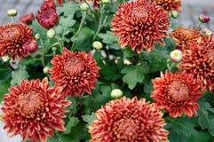Crisantemo di rosso della gru Immagini Stock