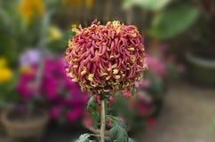 Crisantemo doble rojo y amarillo del color grande Imagenes de archivo