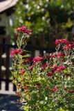 Crisantemo en un jardín Imagen de archivo