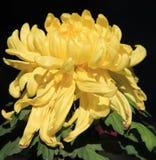 Crisantemo, flor Fotos de archivo