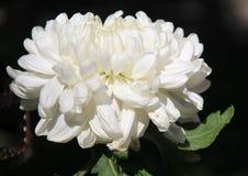 Crisantemo, flor Imágenes de archivo libres de regalías