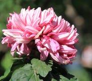 Crisantemo, flor Fotografía de archivo