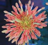 Crisantemo, flor Imagenes de archivo