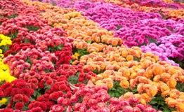 Crisantemo flor-malo Imagen de archivo
