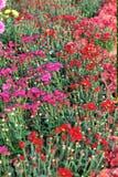 Crisantemo floreciente Fotos de archivo libres de regalías