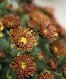 Crisantemo floreciente rojo Fotos de archivo libres de regalías