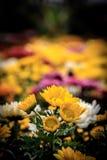 Crisantemo fresco Fotos de archivo
