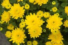 Crisantemo giallo Immagini Stock Libere da Diritti