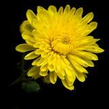 Crisantemo giallo Fotografia Stock