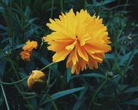 Crisantemo giallo Fotografia Stock Libera da Diritti