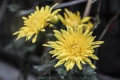 Crisantemo giallo, fine su, fondo nero immagine stock