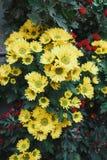 Crisantemo in giardino immagini stock libere da diritti
