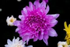 Crisantemo hermoso como fondo Crisantemo rosado, crisantemos en otoño Foto de archivo libre de regalías