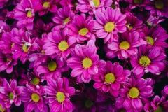 Crisantemo hermoso como fondo Crisantemo rosado, crisantemos en otoño Fotografía de archivo