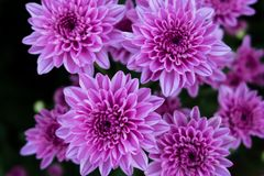 Crisantemo hermoso como fondo Crisantemo rosado, crisantemos en otoño Fotografía de archivo libre de regalías