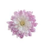 Crisantemo isolato Fotografia Stock