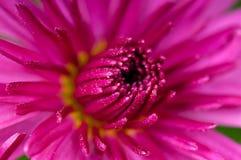 Crisantemo magenta Fotografía de archivo libre de regalías