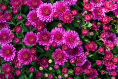 Crisantemo magenta Immagine Stock Libera da Diritti