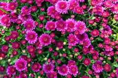 Crisantemo magenta Fotografie Stock Libere da Diritti