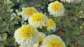 Crisantemo Morifolum fotografía de archivo