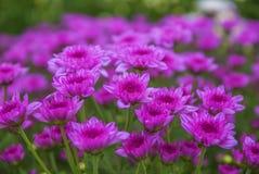 Crisantemo no visto de Tailandia del lopburi Imágenes de archivo libres de regalías