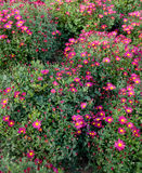 Crisantemo púrpura Foto de archivo libre de regalías