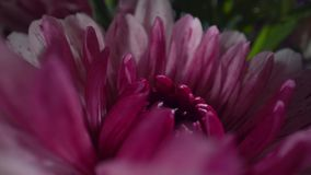 Crisantemo púrpura con descensos del agua en el sol de la mañana Ramo hermoso de flores Primer