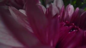 Crisantemo p?rpura con descensos del agua en el sol de la ma?ana Ramo hermoso de flores Primer
