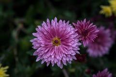 Crisantemo - perennials y publicaciones anuales herbáceos de la familia imágenes de archivo libres de regalías