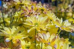 Crisantemo in piena fioritura fotografia stock