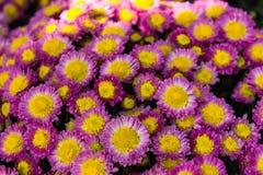Crisantemo porpora Fotografia Stock