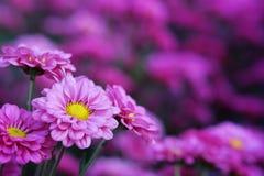 Crisantemo porpora nel fondo di agricoltura del giardino floreale con il fuoco molle Immagine Stock