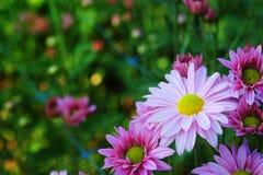 Crisantemo porpora nel fondo di agricoltura del giardino floreale con il fuoco molle Immagine Stock Libera da Diritti