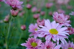 Crisantemo porpora nel fondo di agricoltura del giardino floreale con il fuoco molle Fotografia Stock