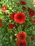 Crisantemo rojo de Borgoña fotos de archivo