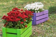 crisantemo rojo en cajón de madera verde en el jardín Fotos de archivo libres de regalías