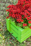 crisantemo rojo en cajón de madera verde en el jardín Fotos de archivo